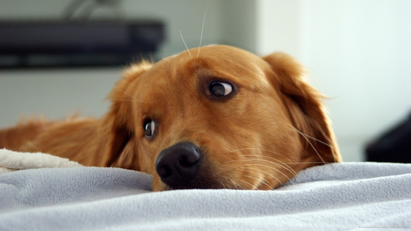 cute-golden-retriever (800x450)