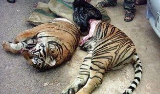 Poached Tiger